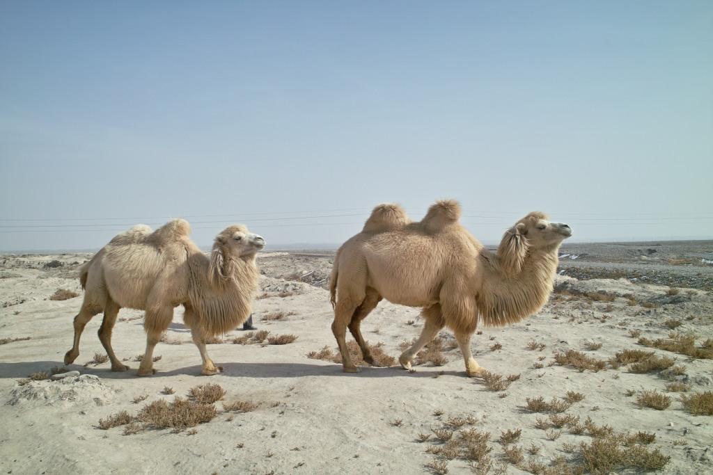 Zwei Kamele in der Taklamakan